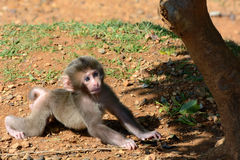 Cute baby Japanese macaque monkey learning to crawl Stock Image