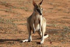 Cute baby kangaroo Stock Image