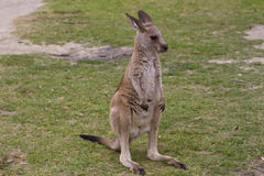 Cute baby kangaroo Royalty Free Stock Image