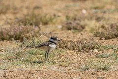 Cute baby Killdeer Standing in Field. A cute baby killdeer standing in a field Royalty Free Stock Photography