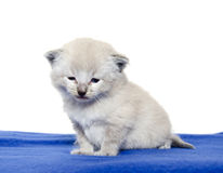 Cute baby kitten on blue blanket Royalty Free Stock Photos
