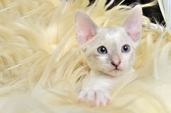 Cute Baby Kitten in Fur Stock Photo