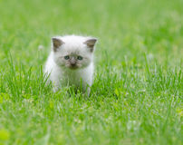 Cute baby kitten in the grass. Adorable baby kitten walking through green grass royalty free stock images
