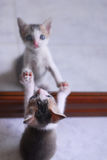 Cute baby kitten playing with mirror. Cute baby kitten playing with his mirror immage Royalty Free Stock Photo