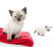 Cute baby kitten on red blanket. Adorable baby kitten sitting on red blanket on white background stock photos