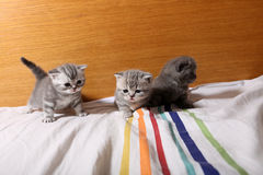 Cute baby kittens playing on the bed. Cute British Shorthair kittens playing in the bed royalty free stock photo