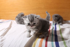 Cute baby kittens playing on the bed Royalty Free Stock Photo