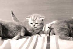 Cute baby kittens playing on the bed Royalty Free Stock Images