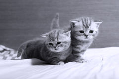 Cute baby kittens playing on the bed Royalty Free Stock Image