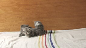 Cute baby kittens playing on the bed stock video