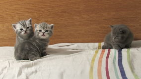 Cute baby kittens playing on the bed stock video footage