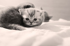 Cute baby kittens playing Royalty Free Stock Photos