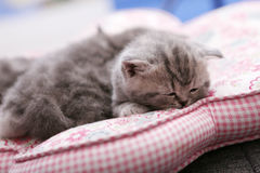 Cute baby kittens sleeping Royalty Free Stock Image