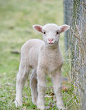 Cute baby lamb Stock Photos