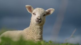A cute baby lamb. Agriculture, countryside. A cute baby lamb in field, at spring looking on photographer. Agriculture, countryside. Farm. UK. England. North stock images