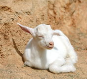A cute baby lamb. On the farm Stock Photos