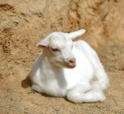 A cute baby lamb. On the farm Royalty Free Stock Images