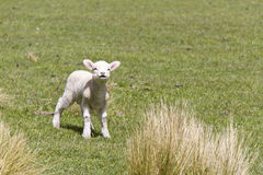 Cute baby lamb. In the fields of New Zealand royalty free stock images