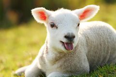 Cute baby lamb Royalty Free Stock Images