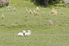 Cute baby lambs. In the fields of New Zealand stock photography