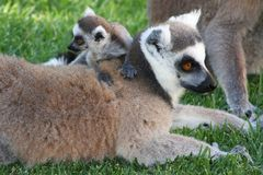 Cute Baby Lemur stock photos