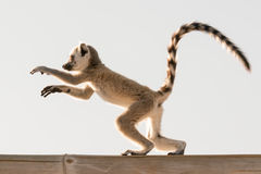 Cute baby lemur in action. Royalty Free Stock Photography