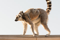 Cute baby lemur on the back of his mother going on a walk. Royalty Free Stock Images