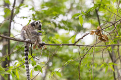 Cute baby lemur on a branch tree in a green jungle. Cute baby lemur standing on a tiny branch tree in a green jungle background in Madagascar Royalty Free Stock Photo