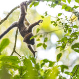 Cute baby lemur playing on a branch tree. Cute dark brown baby lemur playing alone on a branch tree in Madagascar Stock Image
