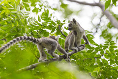 Cute baby lemurs playing on a green forest in Madagascar Stock Image