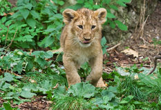 Cute baby lion Stock Image