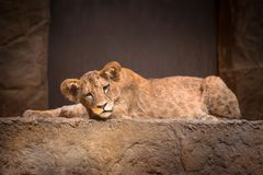 Cute baby lion. Lying on the rock royalty free stock photo