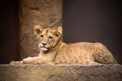 Cute baby lion. Lying on the rock stock photography