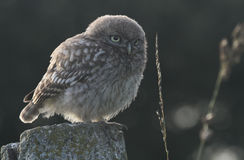 A cute baby Little Owl Athene noctua perched on a concrete post, backlit by the last of the evening sunlight. Stock Images