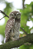 A cute baby Little Owl Athene noctua perched in an Oak tree. Stock Photos