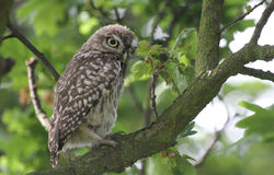 A cute baby Little Owl Athene noctua perched in an Oak tree. Stock Photo