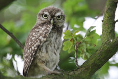 A cute baby Little Owl Athene noctua perched in an Oak tree. Stock Image