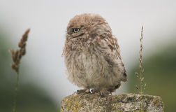 A cute baby Little Owl Athene noctua perched on a post in the evening. Stock Images