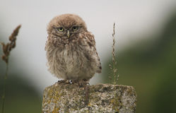 A cute baby Little Owl Athene noctua perched on a post in the evening. Stock Image