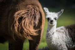 Cute Baby Llama With Its Mother Royalty Free Stock Photos