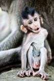 Cute baby macaque Royalty Free Stock Photo