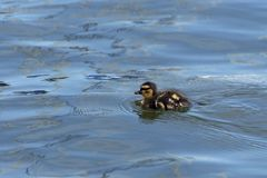Cute baby Mallard Duckling swimming alone in a lake. A cute, fuzzy, yellow and brown Mallard Duck baby duckling creating ripples on the surface of a lake as it Royalty Free Stock Photography