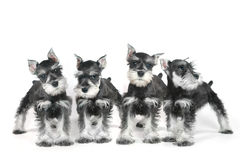 Cute Baby Miniature Schnauzer Puppy Dog on White Stock Photo