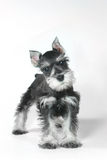 Cute Baby Miniature Schnauzer Puppy Dog on White. Adorable and Cute Baby Miniature Schnauzer Puppy Dog on White stock photo