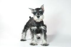Cute Baby Miniature Schnauzer Puppy Dog on White Royalty Free Stock Photos
