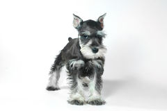 Cute Baby Miniature Schnauzer Puppy Dog on White. Adorable and Cute Baby Miniature Schnauzer Puppy Dog on White Royalty Free Stock Photography