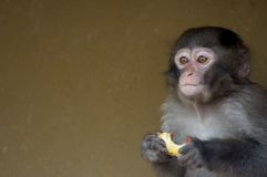 Cute baby monkey. Eating some fruit royalty free stock photos