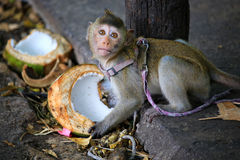 A cute baby monkey Royalty Free Stock Photography