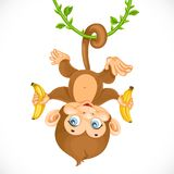 Cute baby monkey with banana hanging on the liana Stock Image