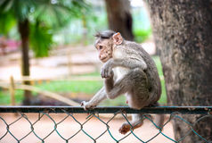 Cute baby monkey doing funny yoga Royalty Free Stock Photography